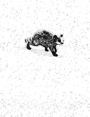 raccoon-walk
